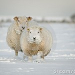 winter-sheep-snow-12370164